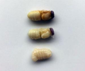Drönarlarver - goda och nyttiga (Foto: BeeSnacks)