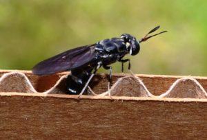 Soldatfluga. Cred: blacksoldierflyblog.com (Own work) Wikimedia, CC