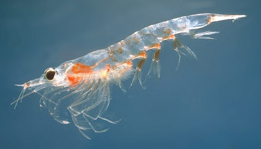 A '''Northern krill''' (''Meganyctiphanes norvegica''). By Øystein Paulsen (MAR-ECO) [GFDL (http://www.gnu.org/copyleft/fdl.html) or CC-BY-SA-3.0 (http://creativecommons.org/licenses/by-sa/3.0/)], via Wikimedia Commons