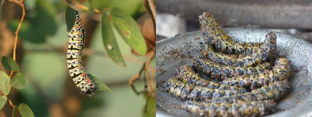 Mopane caterpillars (photo: lescriquetsmigrateurs.com)