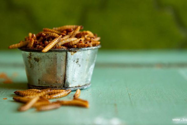 Mealworms: photo Jonas Larsson