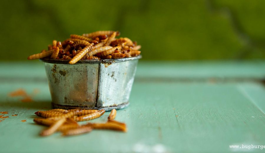 Mealworms: photo Jonas Larsson