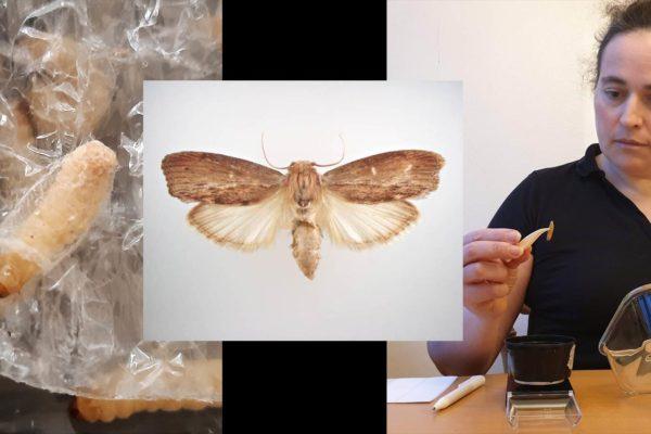 Wax moth larvae eating plastics and a fullgrown wax moth from Wikimedia https://sv.wikipedia.org/wiki/St%C3%B6rre_vaxmott#/media/Fil:Galleria_mellonella_dorsal.jpg